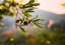 Когда в Крыму начнут производство оливкового масла